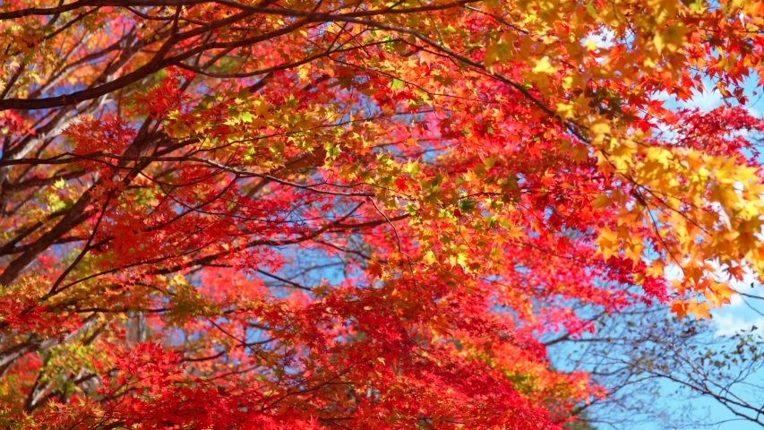 Autumn leaves japan nature landscape | Shutterstock HD Video #1039085441