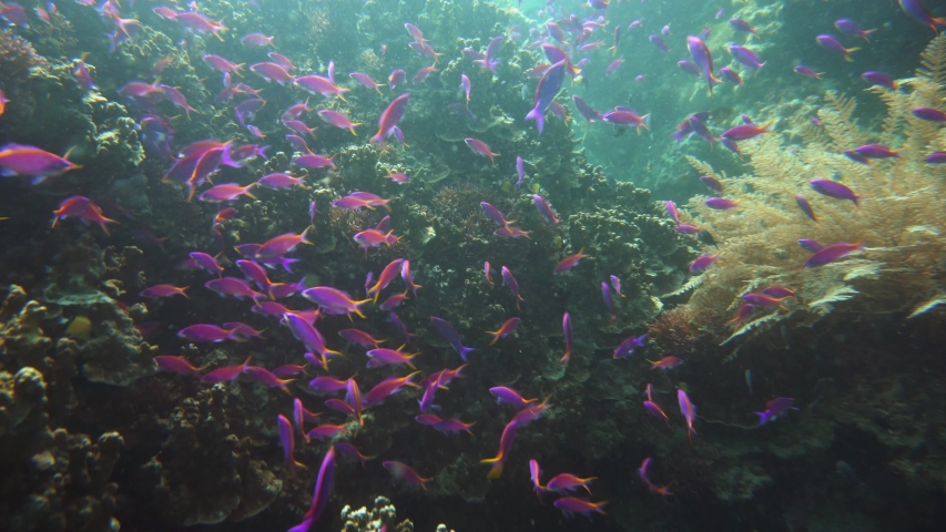 Underwater Scene Coral Reef. Tropical underwater sea fishes. Camiguin, Philippines. Colorful coral reef with exotic fishes. School of fish.