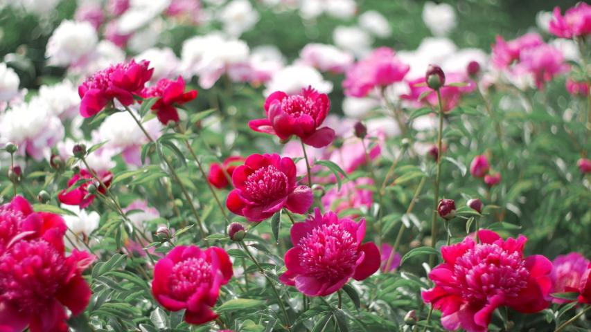 Pink peonies flower bloom on background of blurry white peonies in peonies garden.    Shutterstock HD Video #1039133672