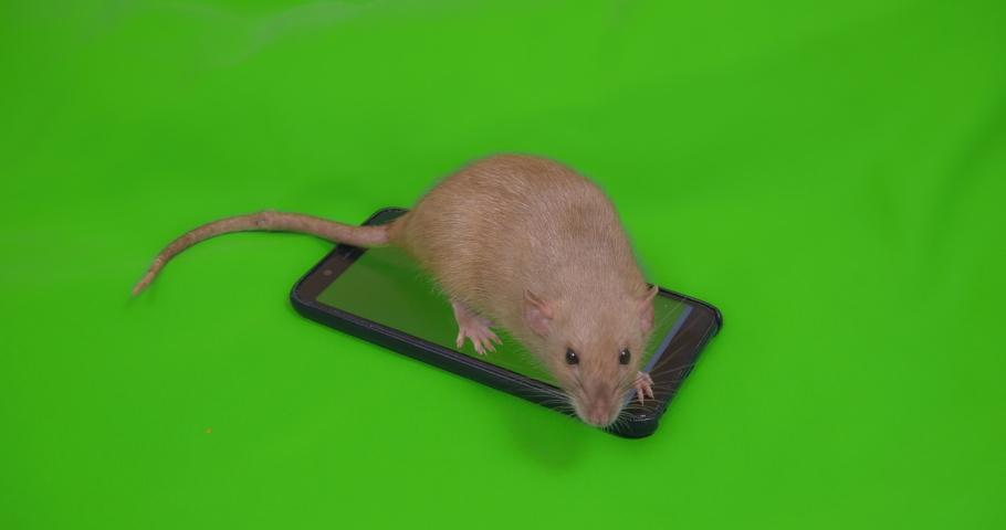 Rat on smartphone. Green screen. Gadget addiction, trap, bait concept. Social media, shopping online, e-commerce. Online service | Shutterstock HD Video #1039141583