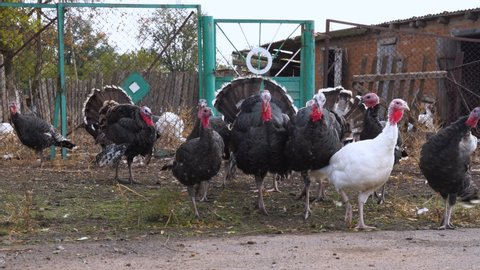 Flock of colorful domestic turkeys walk for a walk in the village