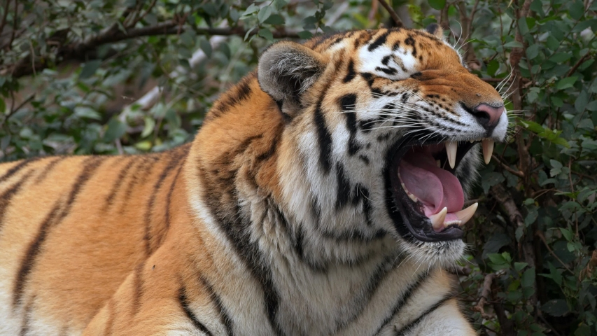 Siberian tiger (Panthera tigris altaica) calling for mate | Shutterstock HD Video #1039167302
