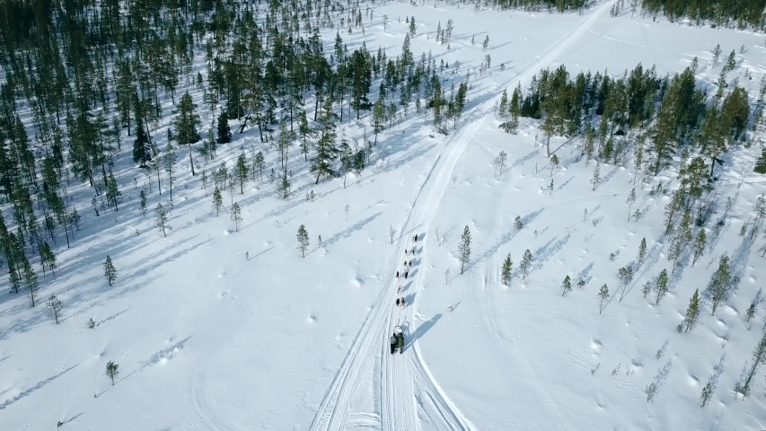 Aerial drone flight over dog team with sled glides people through the snow between green christmas trees, Murmansk region, Russia, 4k. Sunny weather. sled leaves in the snow tracks.