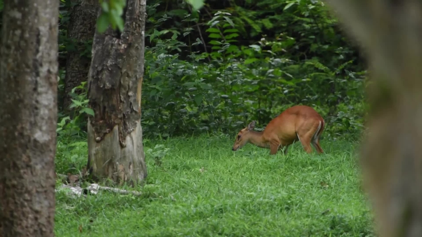 The barking deer, eating fruit from trees. At Huai Kha Khaeng Wildlife Sanctuary, Thailand. | Shutterstock HD Video #1039231082