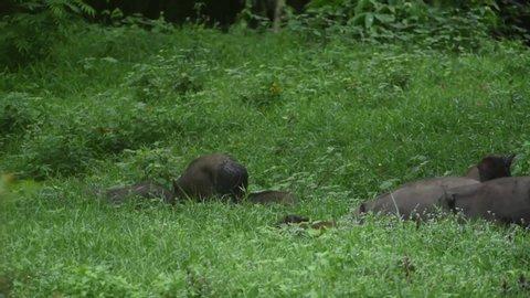 A group of wild boars have children running away from danger. At Huai Kha Khaeng Wildlife Sanctuary, Thailand.