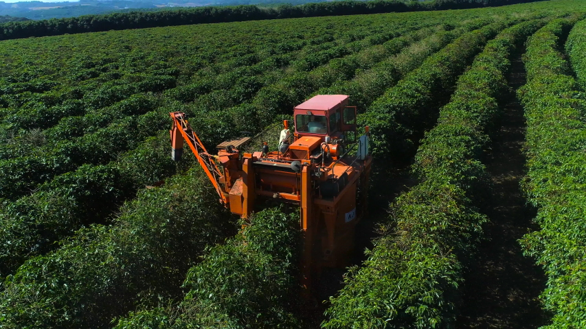 Aerial view of coffee mechanized harvesting