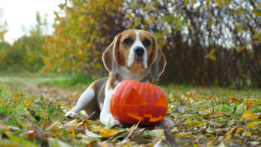 Lovely dog touch jack lantern by paw then put nose inside, looking straight to camera. Beagle portrait with traditional Halloween decoration, ripe pumpkin with carved face. Nice autumn park area   Shutterstock HD Video #1039320974