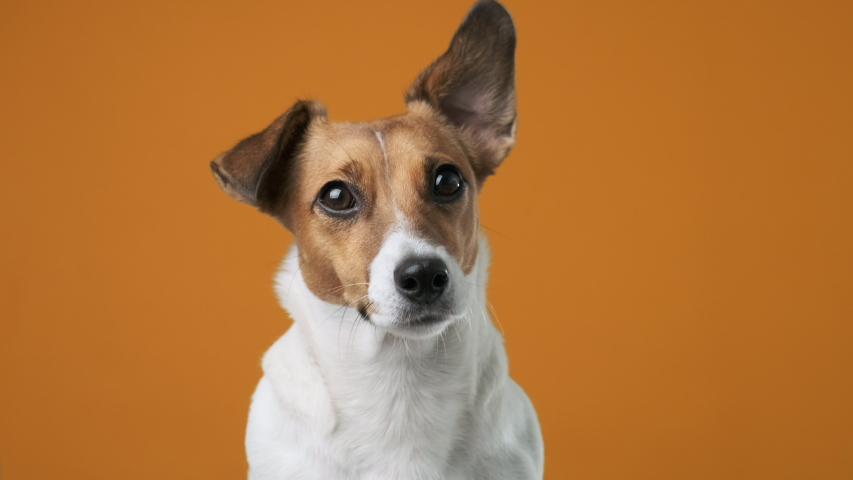 Portrait of dog breed Jack Russell Terrier on an orange background looking at the camera at the owner holding his ear up close up. Caring for pets. Background for your text and design.