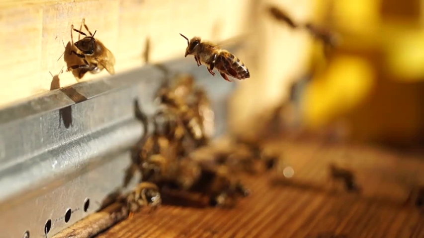 Bee close up. Bees at the bee hive. Swarm of bees.   Shutterstock HD Video #1039364705