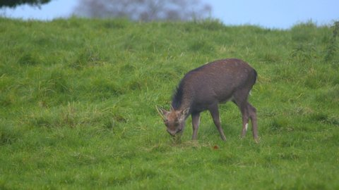 Young deer with antlers using hoof to dig the earth