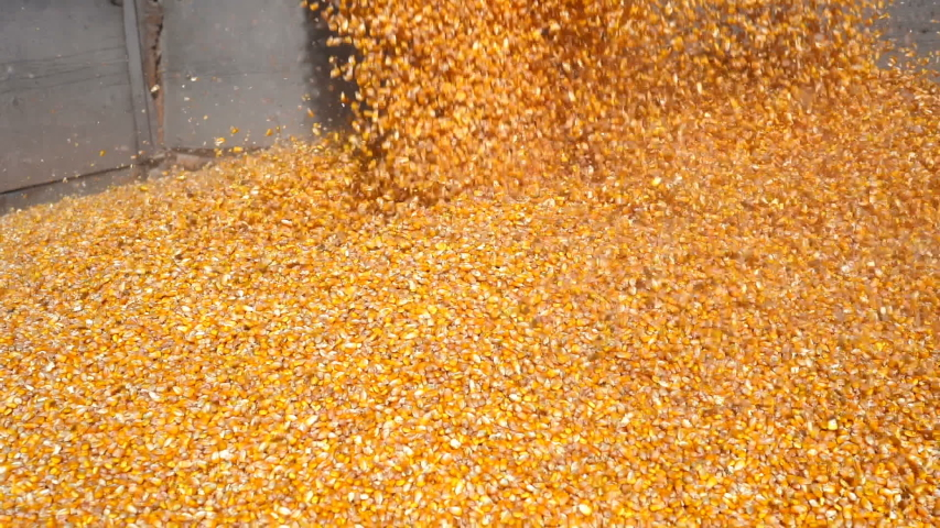 Corn Falling from Combine Auger into Grain Cart in Slow Motion. Pouring Corn Grain Into Truck Trailer in Slow Motion. Harvested Corn Being Transferred to a Grain Trailer. Harvest Time. | Shutterstock HD Video #1039499924