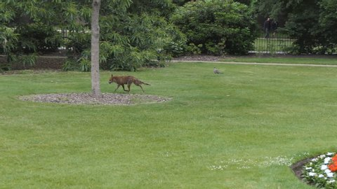 A red fox scuttling amongst the trees in a park.