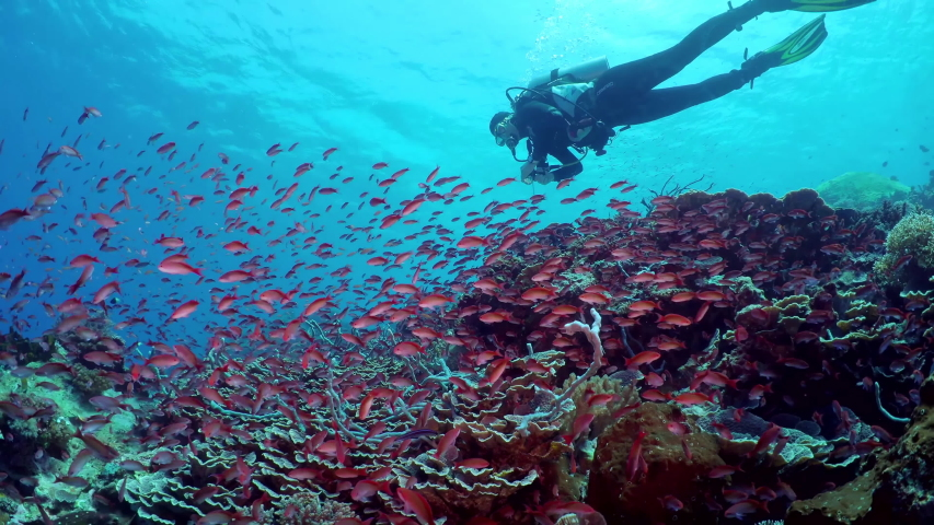 A diver exploring coral reef and flock of small beautiful red fishes Silverstreak anthias (Pseudanthias cooperi) floats around the reef | Shutterstock HD Video #1039541138