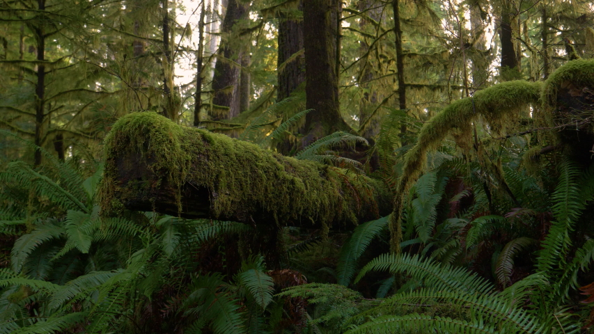 CLOSE UP: Old tree chopped down deep in the Hoh Rainforest is covered by lush green moss and surrounded by ferns. Scenic shot of moss covered forest on the temperate weathered Olympic Peninsula. | Shutterstock HD Video #1039549010