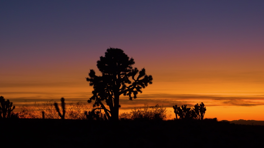 SILHOUETTE: Fascinating yucca palm trees in Mojave desert stretch out into the orange evening sky. Beautiful sunset gently illuminates the Joshua tree national park in the rugged California wilderness