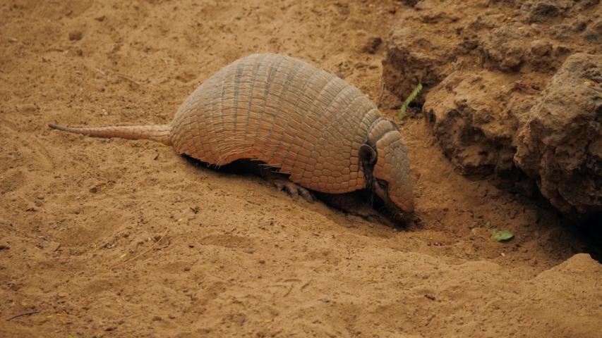 Armadillo (Armadillo disambiguation) - Texas animal in desert
