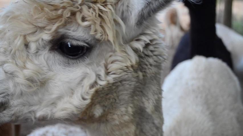 Baby Alpaca Close Up - Big Eyes #1039630868