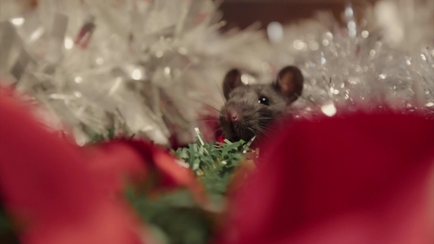 gray mouse walks among the New Year attributes. The animal is preparing for Christmas. The concept of the celebration, costumes, decorations. Symbol of the year 2020. Year of the rat. Red inscription #1039637945