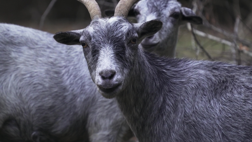 A close up of domestic Nubian goats characterized by large pendulous ears,grazing on food.A static footage.