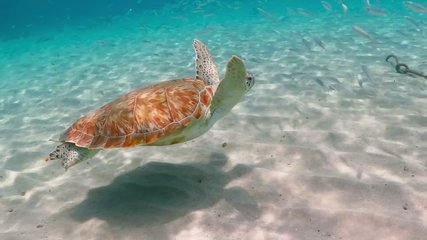 Swimming green sea turtle (Chelonia mydas), white sand and shallow tropical sea. Swimming with ocean wildlife. Underwater video from scuba diving with turtles. Marine animal footage from snorkeling.