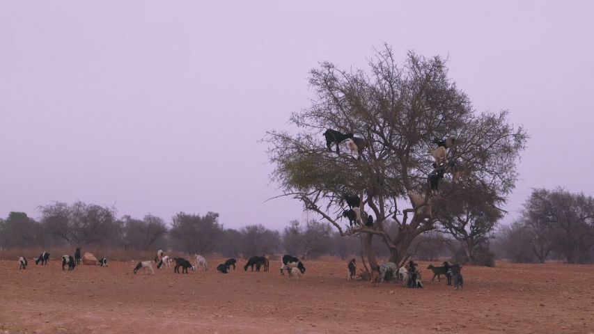 Long shot of herd of Goats Climb The Argan Tree And Eat, Morocco