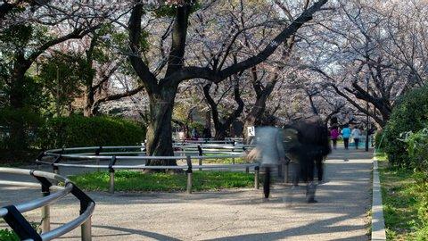 Cherry Blossom Chidorigafuchi Urban Park Tokyo