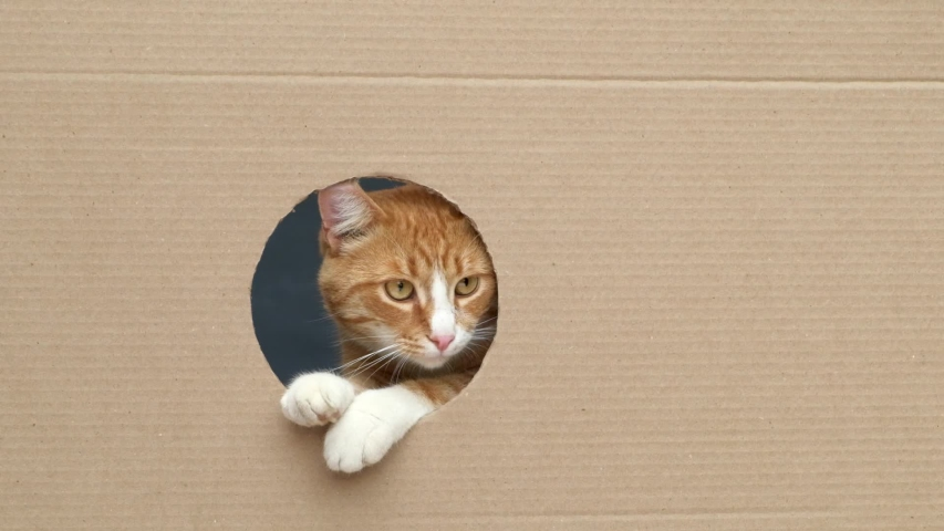 Cute curious ginger tabby cat with yellow eyes looks through round hole in cardboard box. Slow motion.