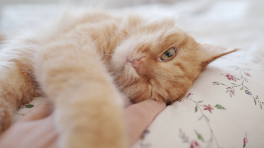 Cute ginger cat lying in bed. Man stroking his fluffy pet. Morning bedtime in cozy home. | Shutterstock HD Video #1039748294