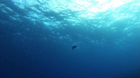 Backlight underwater scene - Alone barracuda fish swimming in clean water - Scuba diving in Majorca