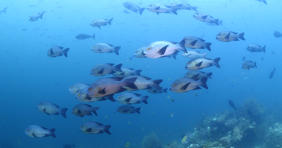 Big eye snappers underwater  school of fish in tropical waters some corals | Shutterstock HD Video #1039757237