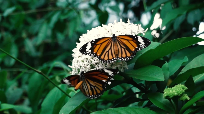 A butterfly flying around a white flower | Shutterstock HD Video #1039829378