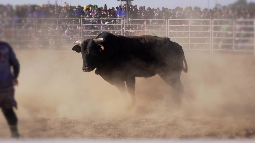 Dangerous enraged  black bull trying to kick a cowboy in a rodeo (Slow Motion) | Shutterstock HD Video #1039870034