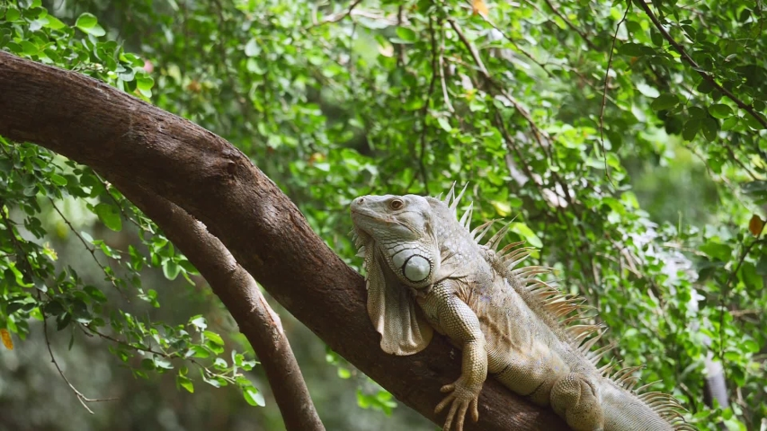 Iguana shakes its head on tree. (Slow motion)