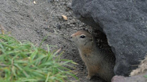 Curious but cautious wild animal Arctic ground squirrel peeps out of hole under stone and looking around so as not to fall into jaws of predatory beasts. Kamchatka Peninsula, Russian Far East, Eurasia