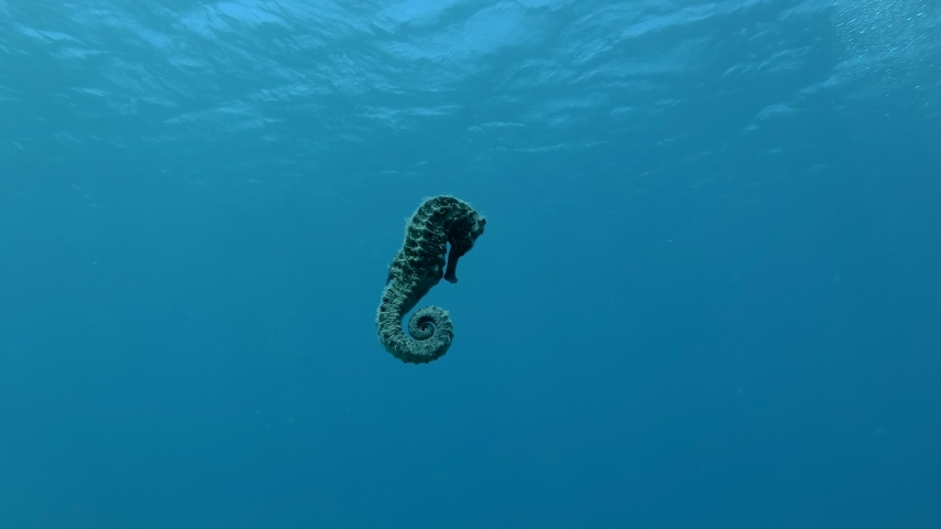Seahorse swims under surface of blue water background. Underwater shot, Red Sea, Egypt | Shutterstock HD Video #1039959671