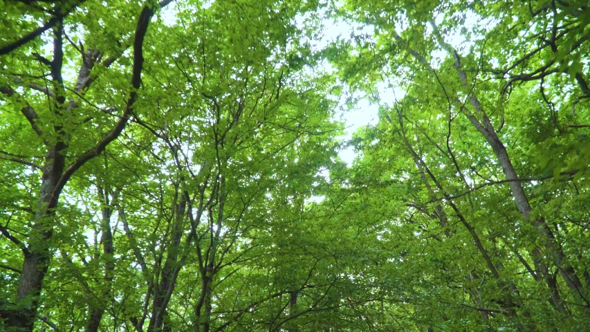 Walking into the big green forest. Under green canopy of treetops. Sun rays and long green  trees. Spring nature scene. | Shutterstock HD Video #1040008685