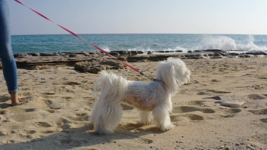 White Maltese dog shaking in slow motion at the beach at sunny day.   Shutterstock HD Video #1040044826