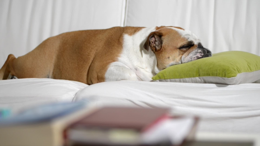 English bulldog female while she is falling asleep on the sofa at home | Shutterstock HD Video #1040046593