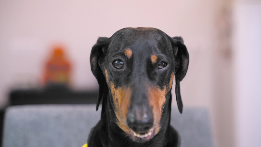 Funny black and tan dachshund mugs and grimaces to the camera, with comic effect. Trying to sneeze, or getting some strong smell. Close up video. | Shutterstock HD Video #1040113916