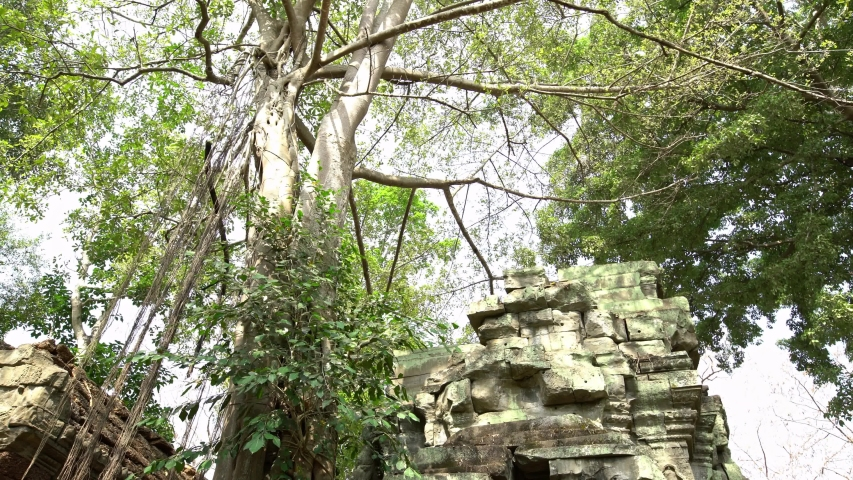 4K, Ta Prohm temple with strangler fig. Famous spung tree growing in temples ruins of Cambodia. Tetrameles nudiflora. Angkor Thom with ancient architecture is a popular tourist attraction of Asia.-Dan
