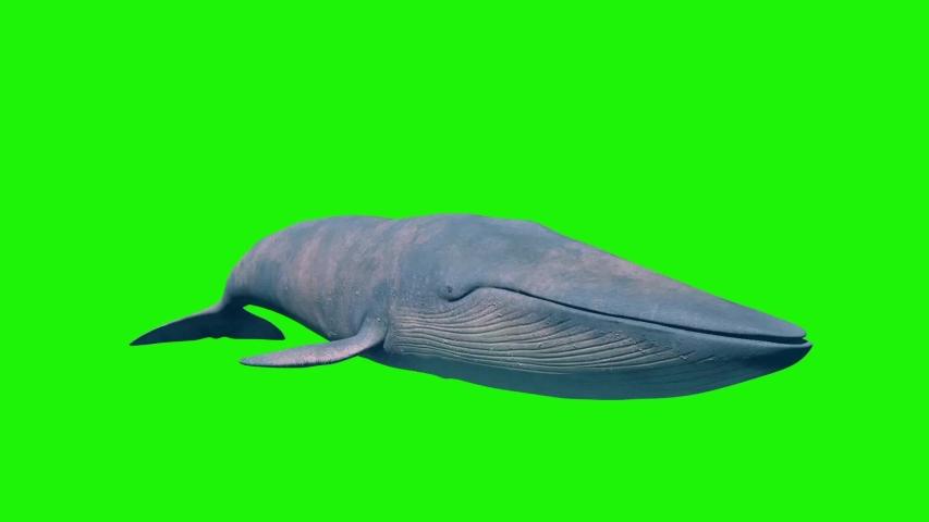 Blue Whale Green Screen Loop Front Ocean Sea 3D Rendering Animation