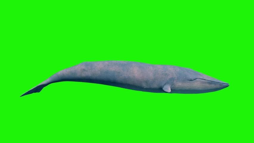 Blue Whale Green Screen Loop Side Ocean Sea 3D Rendering Animation