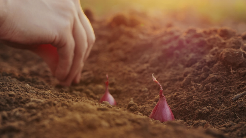 Planting seeding onions in organic vegetable garden, close-up of woman's hand planting red onions in the ground | Shutterstock HD Video #1040251748