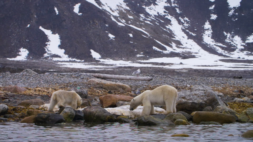 Hungry Polar bear mother and calf feed on Whale blubber in the Arctic
