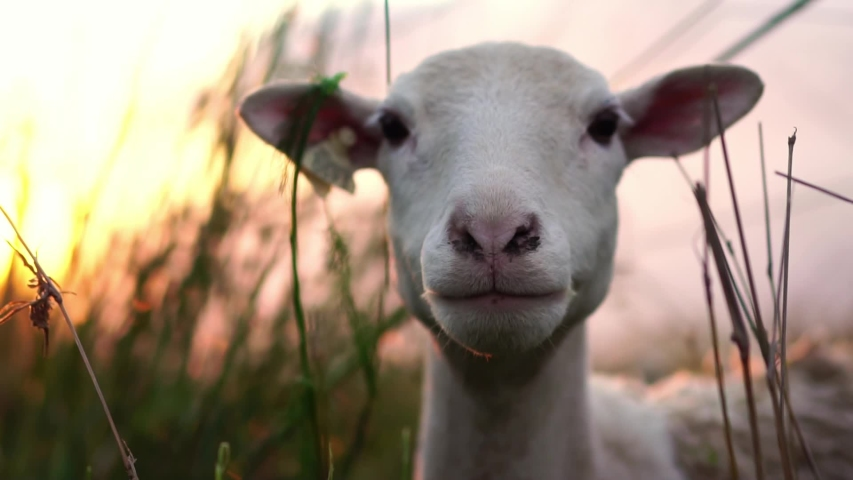 Cute sheep on green pasture in village farm field countryside. Concept of livestock agriculture, environment, vegan activism, animal rights. Animal portrait. Slow Motion.