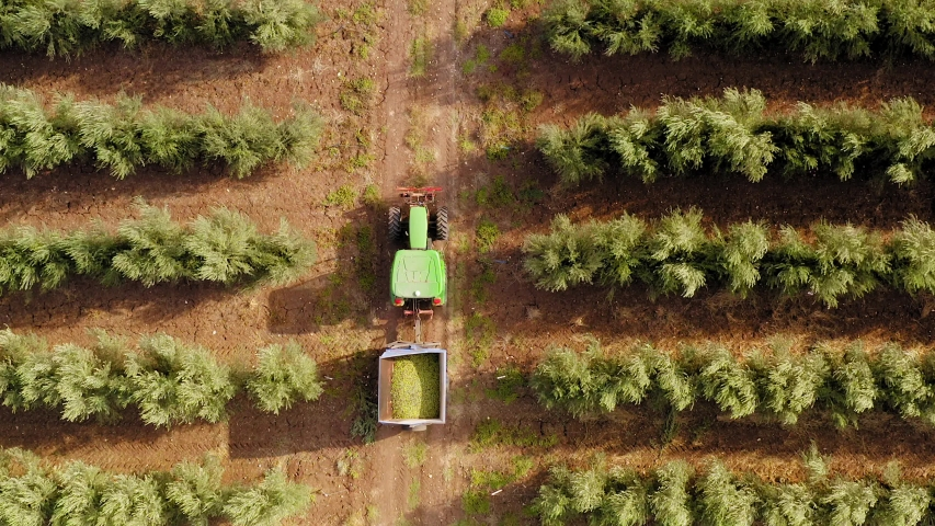 Green Tractor and trailer loaded with fresh Harvested ripe Olives crossing an Olive Tree plantation.
