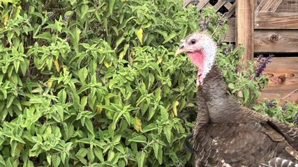 4K HD video of one turkey hen, old and tattered, eating seeds from a flower bush on a small farm.