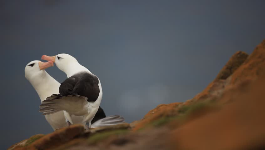 Pair of Black-browed albatross, Thalassarche melanophris, courtship ceremony, birds with white head with nice bill, on the Falkland Islands