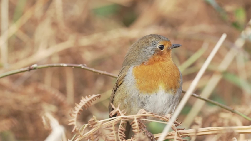 Wild european bird in the nature stock video | Shutterstock HD Video #1040792990