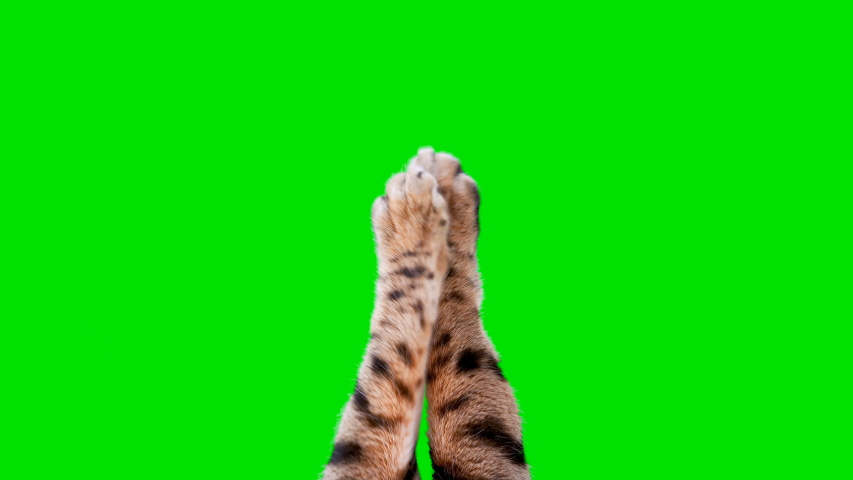 4K cat paws typing on green screen isolated with chroma key, real shot. 3 gestures (type and swipe), loop-able.  #1040811755